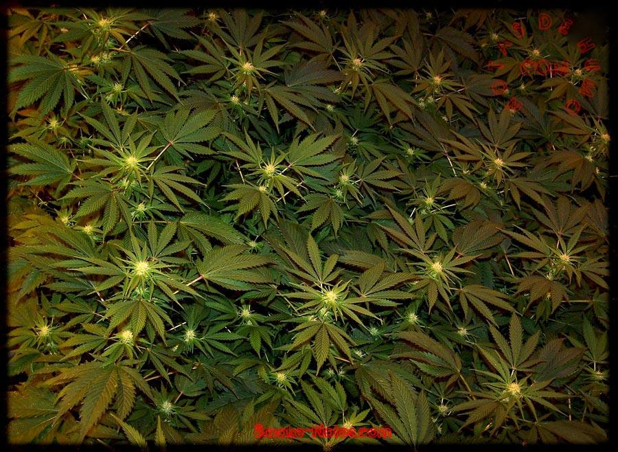 cannabis floreciendo