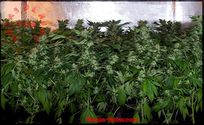 variedades de marihuana