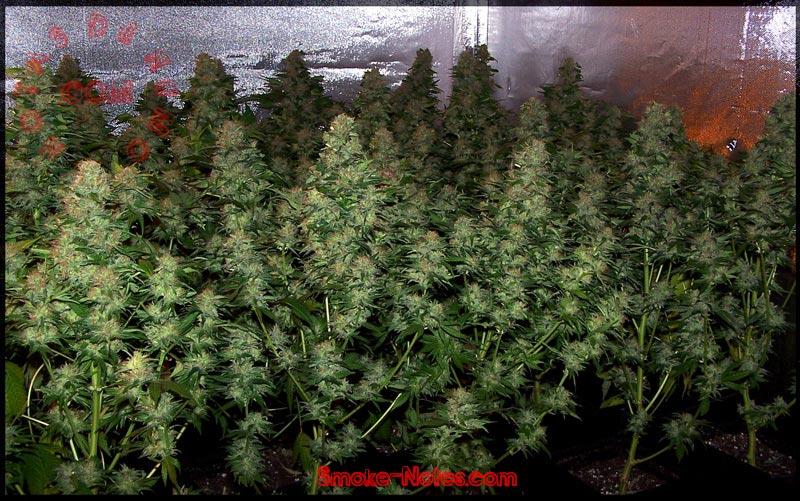 Info cultivo para todos taringa for Plantas marihuana interior