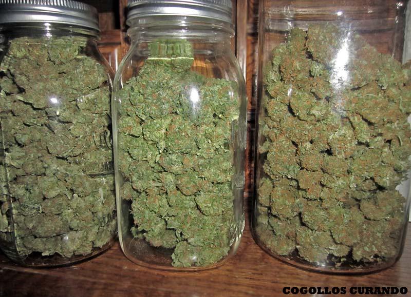 cogollos marihuana curando