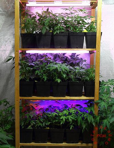plantas madre marihuana