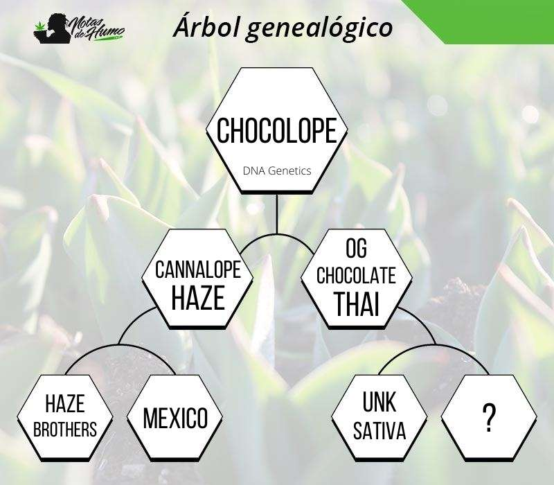 chocolope dna