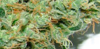 cannabis great white shark