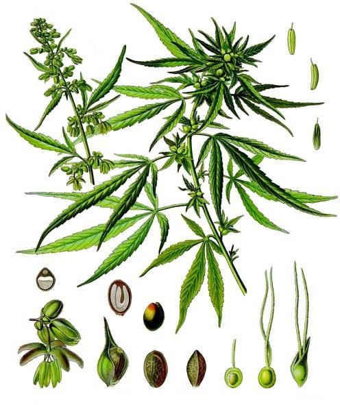 que es la marihuana partes
