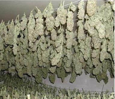 marihuana secando