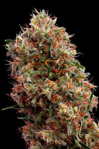 white lemon de Strain Hunters
