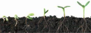 planta de maruhana germinando
