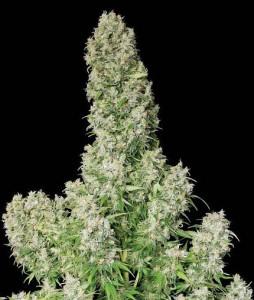 plantar marihuana en interior paso a paso