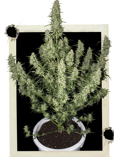 semillas de marihuana buenas