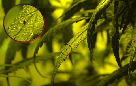 plagas de marihuana