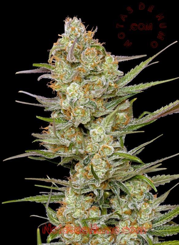 variedades de marihuana indicas