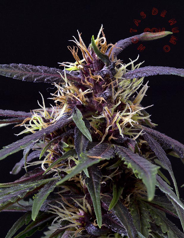 marihuana morada purple