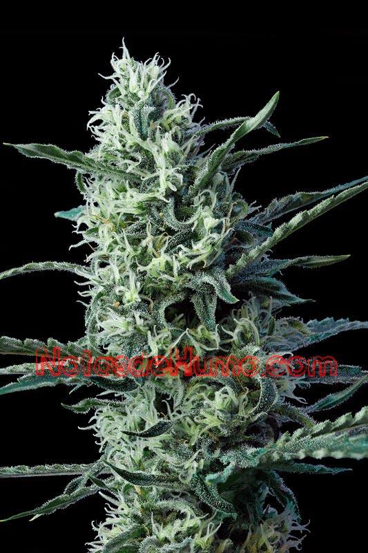 variedades de marihuana lemon