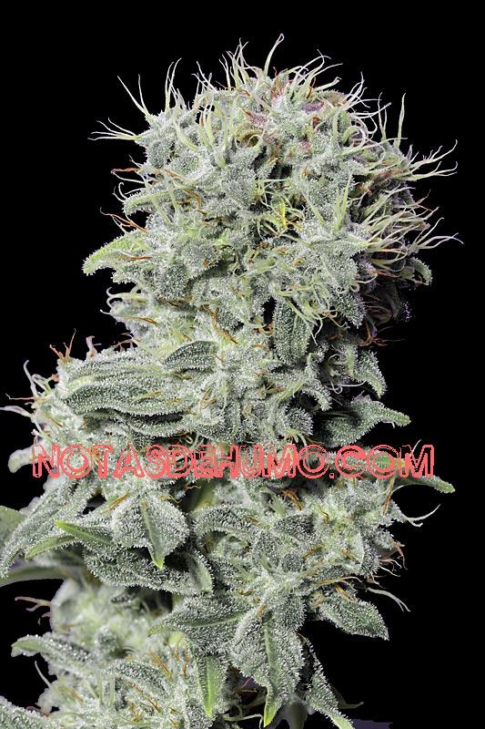 variedades de marihuana mejores
