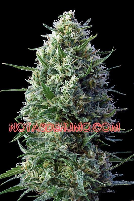 variedades de marihuana c99