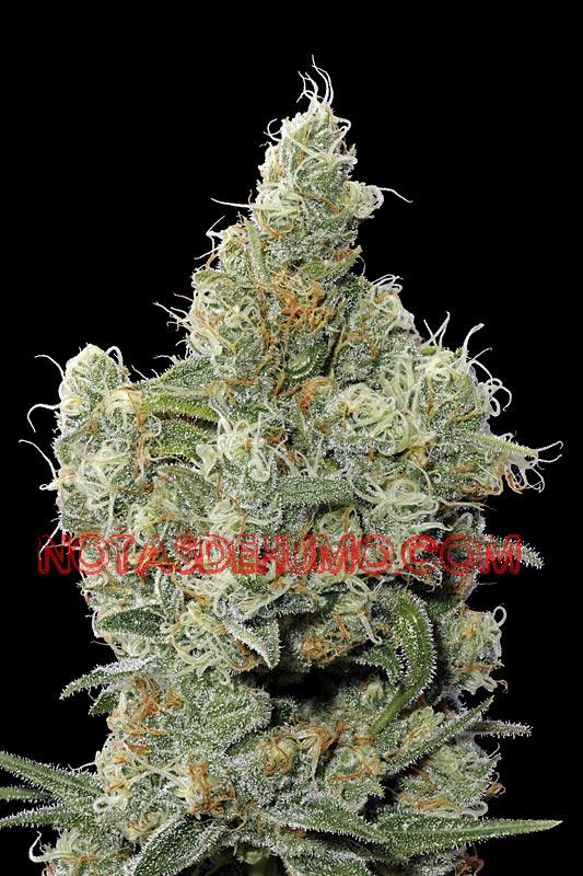variedades de marihuana chocolope