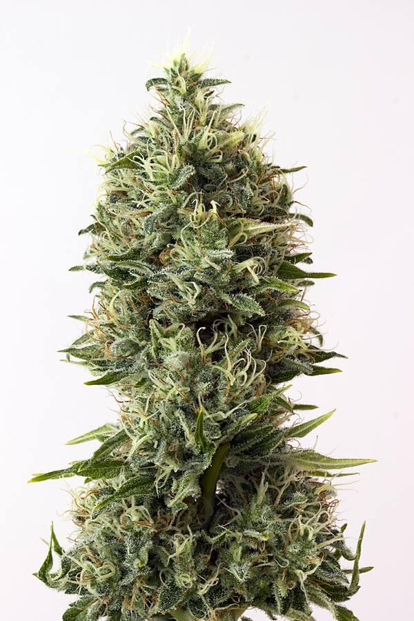 fotos de plantas de marihuana