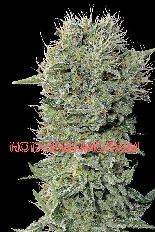 variedades de marihuana diesel