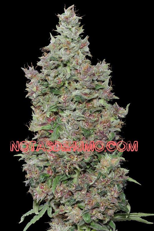 variedades de marihuana purple