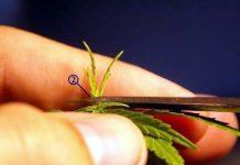 poda de marihuanas