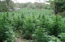 abonos organicos marihuana