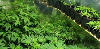 nuevo cultivo marihuana