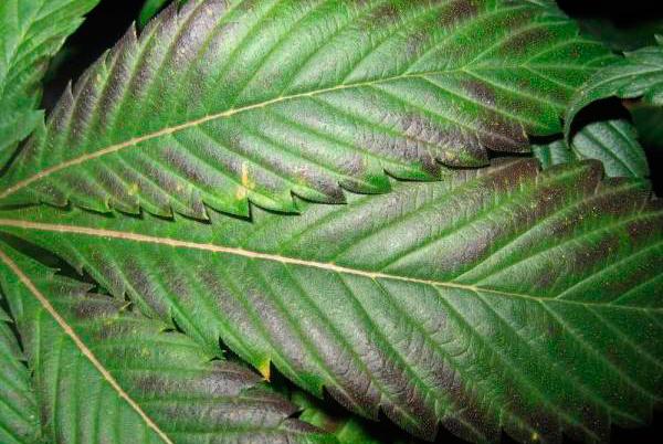 Hojas moradas en plantas de marihuana for Aspiradora de hojas para jardin
