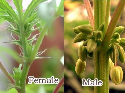 sexo planta marihuana