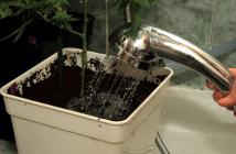 lavado de raíces de marihuana