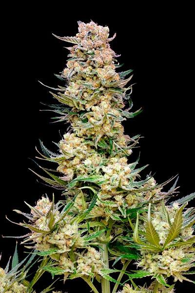 BGum cultivada con bio