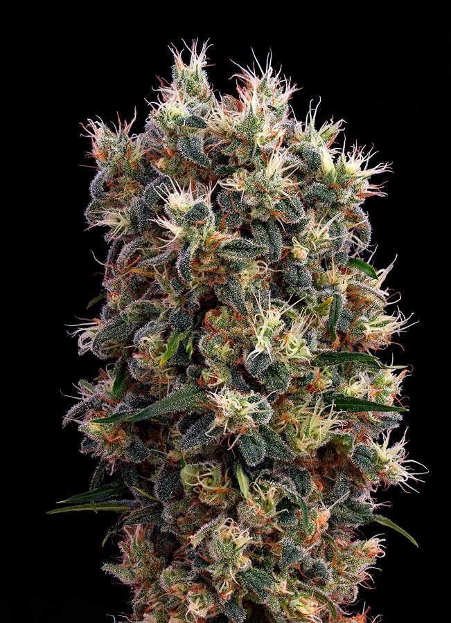 cogollazo de marihuana