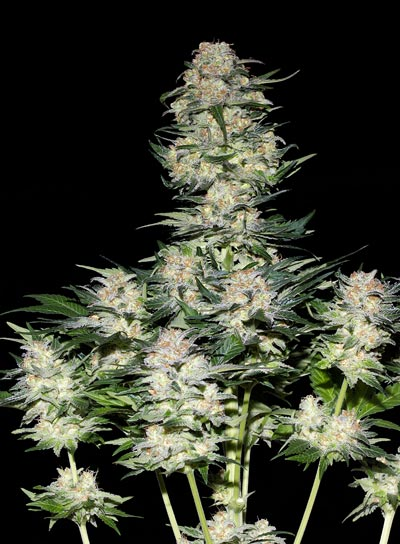 Marihuana cultivada en tierra
