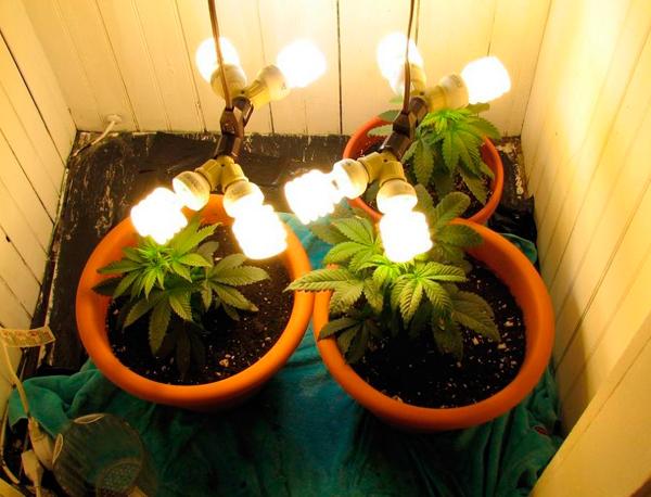 marihuana cultivada con bajo consumo