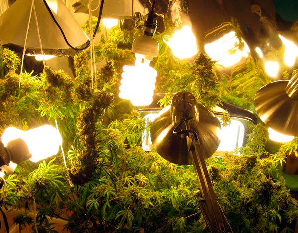 cultivo de marihuana con bombllas cfl
