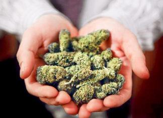 cogollos de marihuana despues de secar