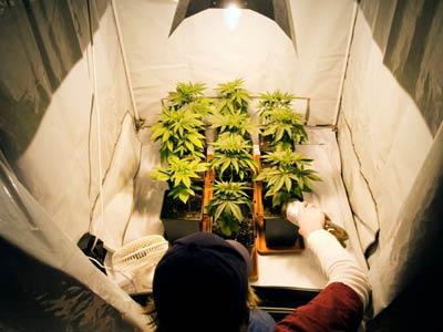 marihuana bajo bombilla de crecimiento