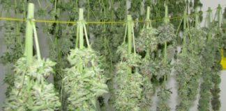 marihuana secandose