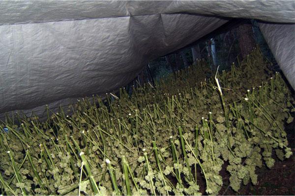secadero de marihuana exterior