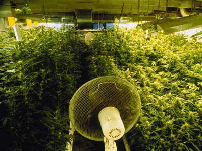 ventilador en cultivo