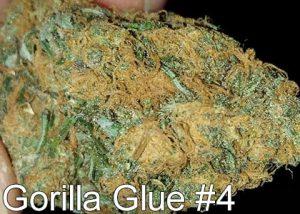 cual es el cannabis que tiene más thc foto de gorilla glue