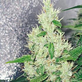 cual es el cannabis que tiene más thc foto de y griega