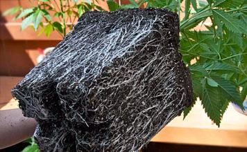 cepellon de Marihuana