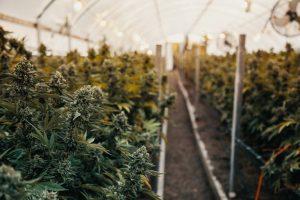 como cultivar marihuana en exterior en invernadero
