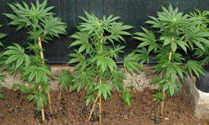 como cultivar marihuana en exterior en suelo directo