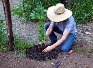 trasplantar en cultivo de guerrilla