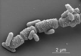 bacterias y microorganismos