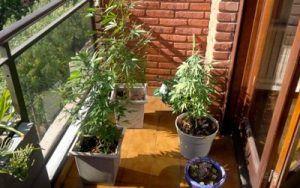 cultivo en balcon de marihuana en maceta