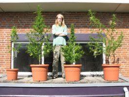 cultivo en terrazas y balcones de marihuana en maceta