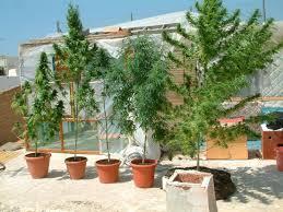 cultivo en terrazas de marihuana en maceta