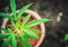 marihuana en maceta
